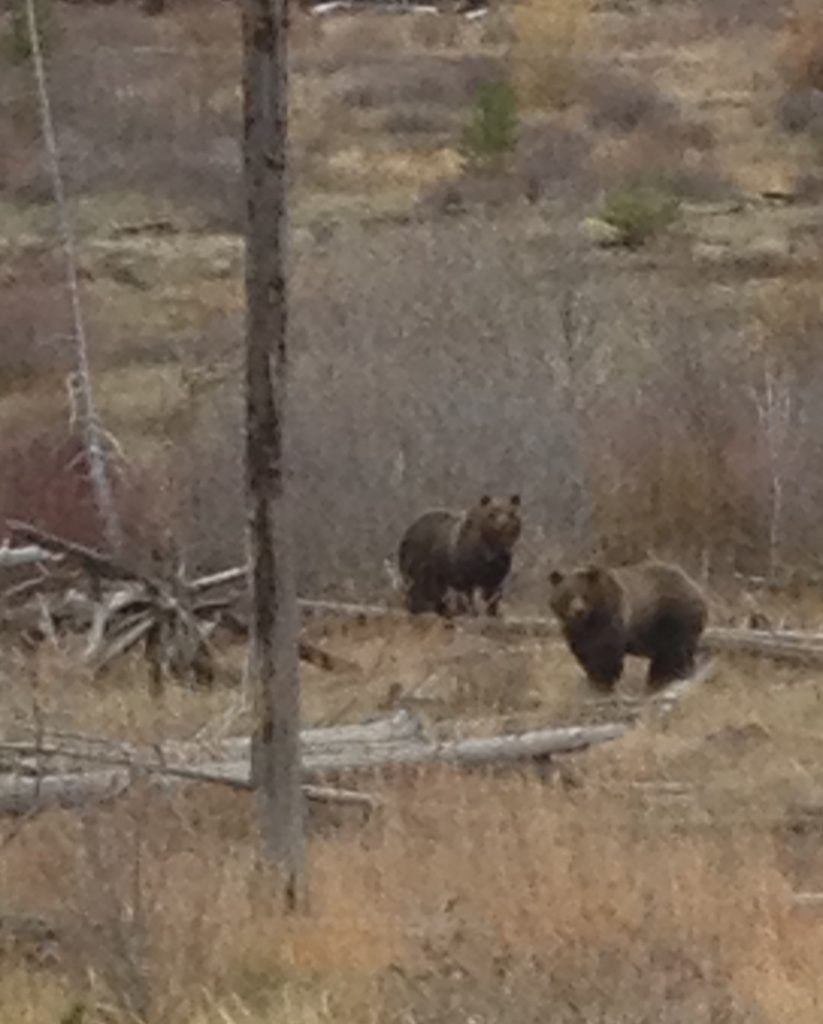 Grizzly bears at a moth site during a guided hunting trip in Wyoming with 307 outfitters