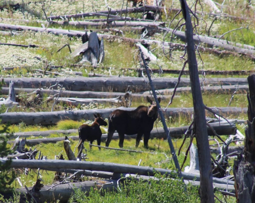 Moose and calf in Shoshone Forest by Scott LaFevers of 307 outfitters