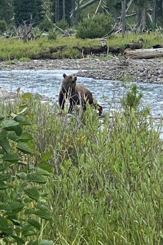 Another Grizzly bear North Fork of the Shoshone during Guided Pack trip