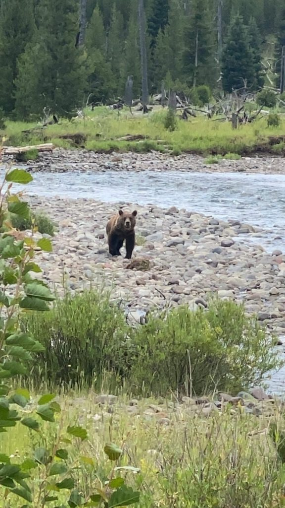 Another Grizzly bear North Fork of the Shoshone on a guided pack trip in Wyoming