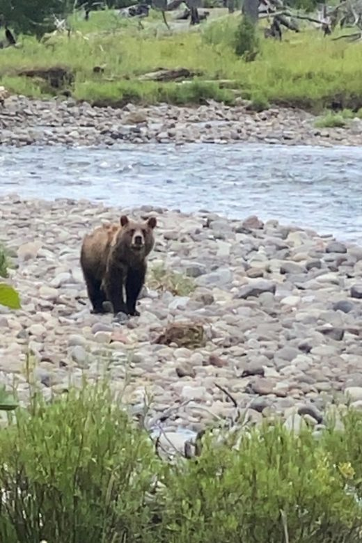 Grizzly bear North Fork of the Shoshone during moth site viewing with 307 outfitters