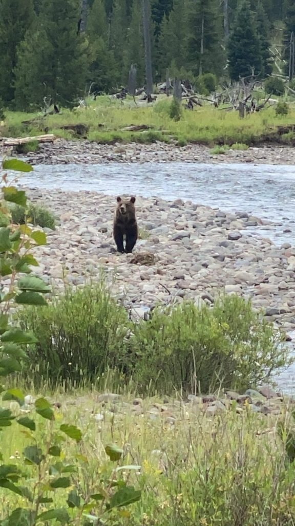 Sub adult grizzly bear during viewing adventure with 307 outfitters in Wyoming