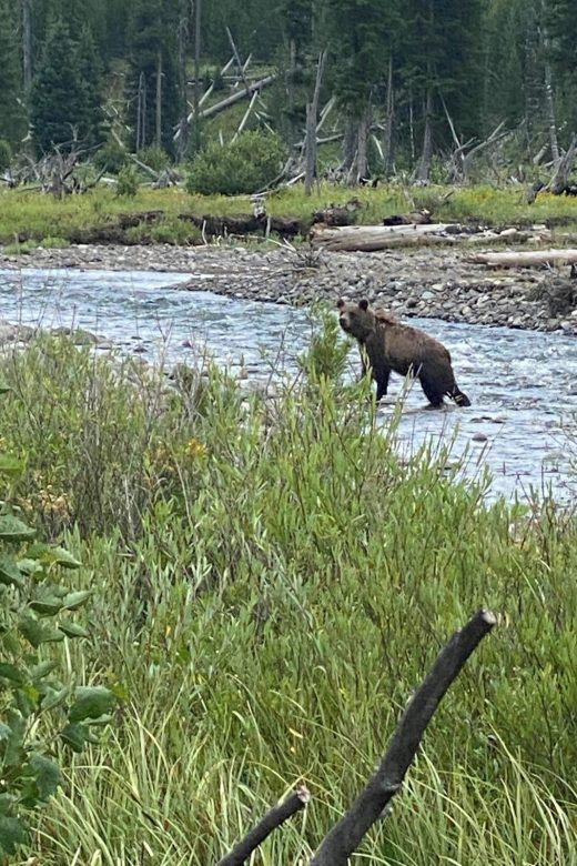 Sub adult grizzly bear in North Fork of the Shoshone River