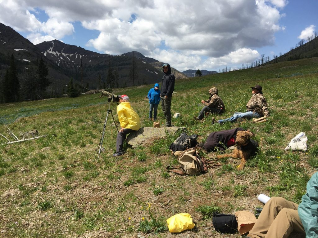 Watching grizzly bears on moth site during a pack trip in wyoming with 307 outfitters