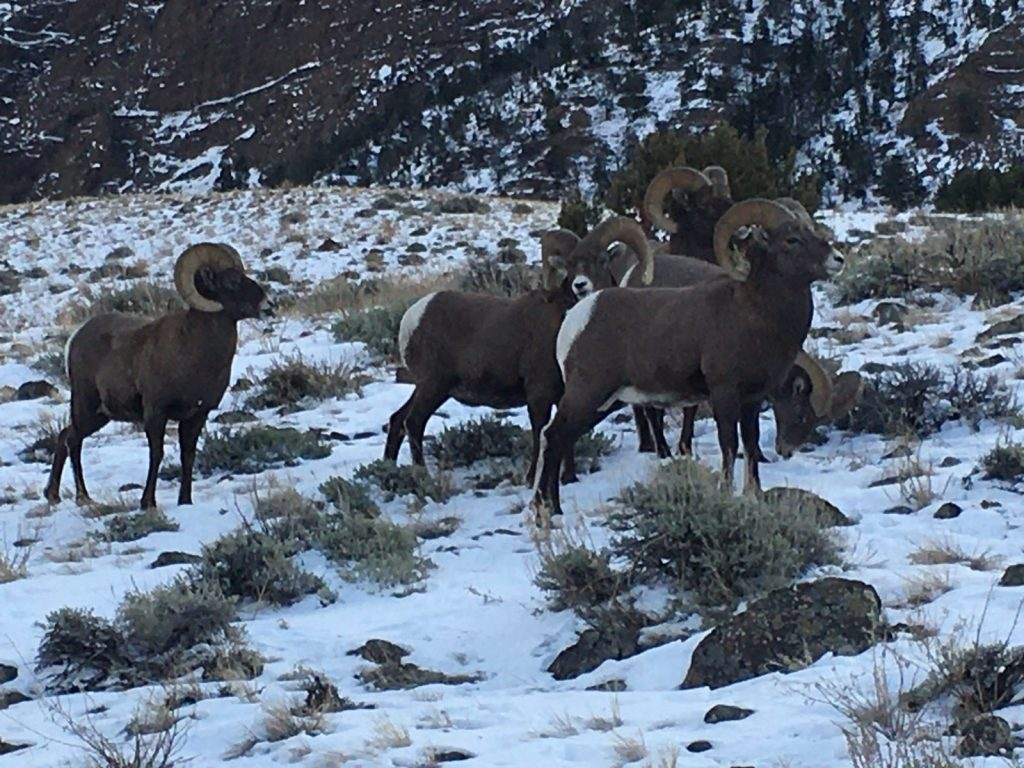 Big Horn Sheep in Wyoming with Scott LaFevers and 307 Outfitters Hunting guides