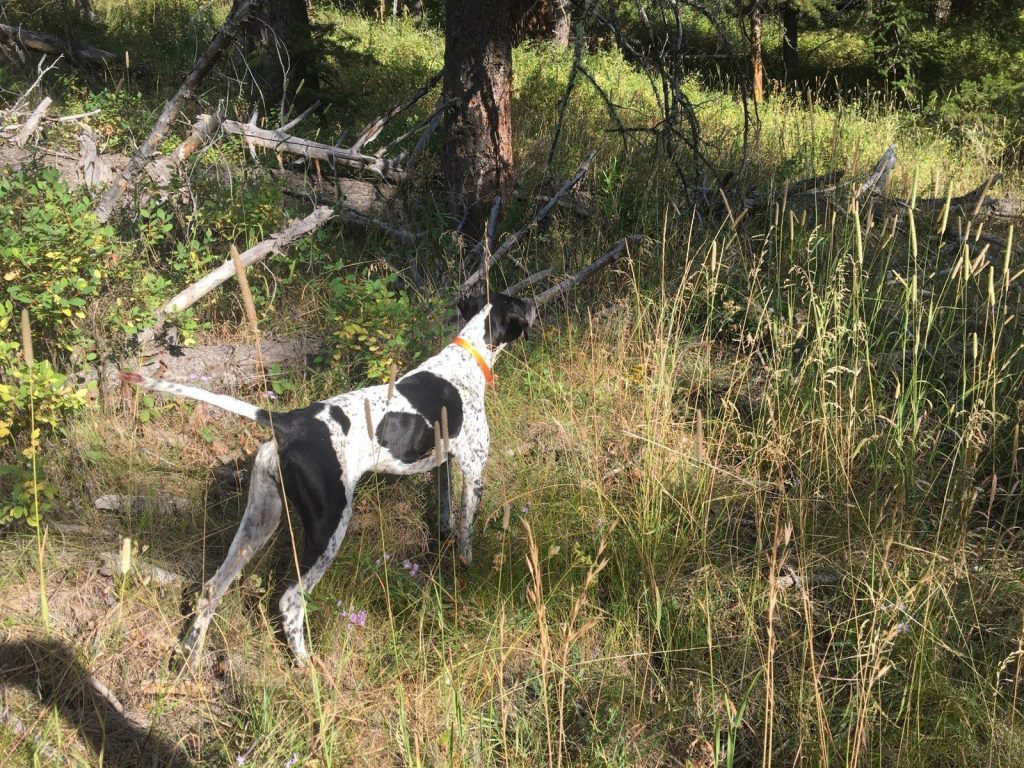 Blue Grouse on Point with Hunting Dogs on a Guided Bird Hunt in Shoshone National Forest