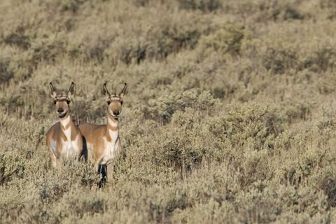 Trophy Antelope hunting in Wyoming with 307 Outfitters. Game and Fish photo