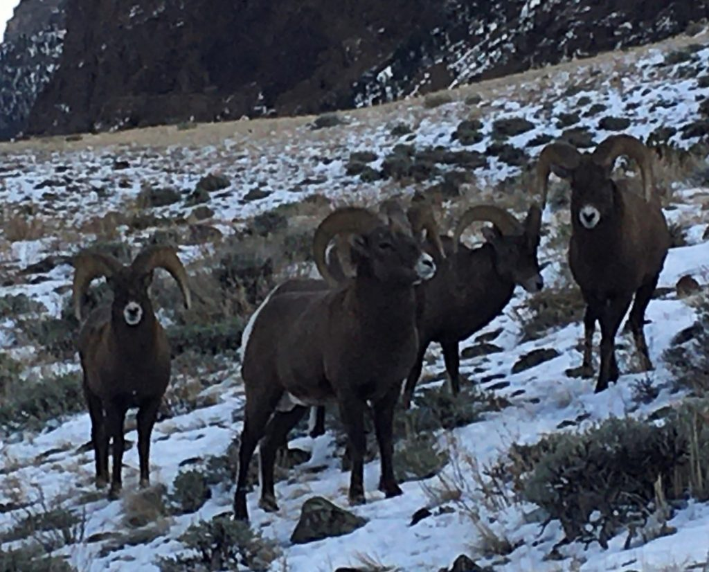 Trophy Hunting for Big Horn Sheep in Wyoming with 307 Outfitters