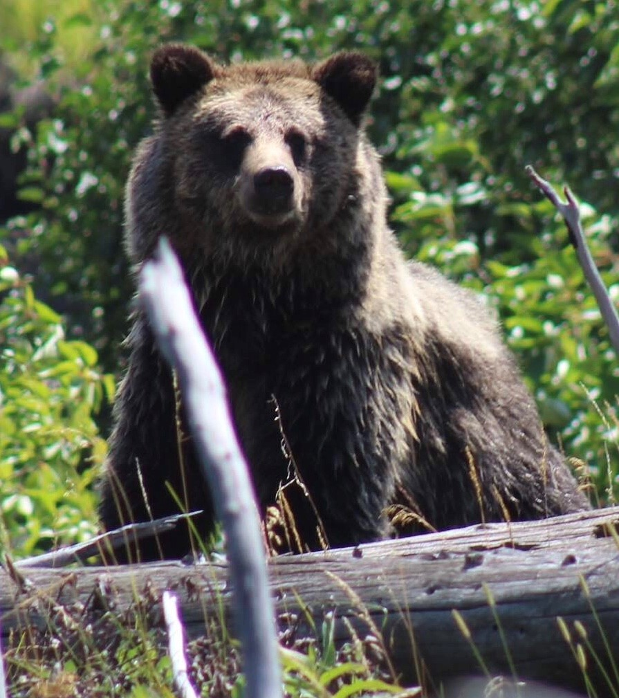 Grizzly bear viewing trips in Cody Wyoming with 307 outfitters
